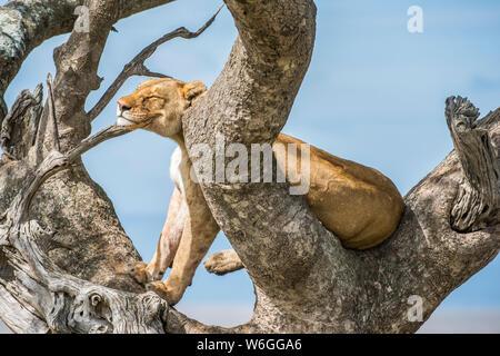 La Lionne adulte (Panthera leo) repose la tête sur une branche tout en étant perchée dans un arbre dans le parc national de Serengeti; Tanzanie
