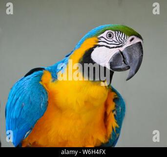 Perroquet ara bleu et jaune au Lincolnshire Wildlife Park, Friskney, Boston, Lincolnshire, Royaume-Uni Banque D'Images