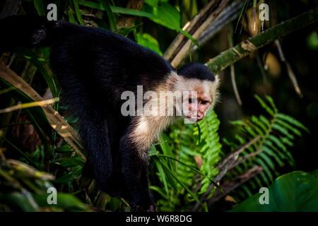 Capucin à face blanche panaméenne (imitateur cebus) images