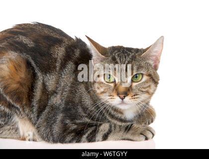 Close up of Bengal tabby cat mix avec des yeux verts sur fond blanc. Le chat Bengal est une race de chat domestique créé à partir d'hybrides de chats domestiques Banque D'Images