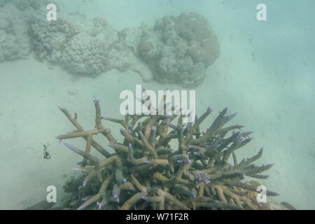 Spik formant barrière de coraux au Ningaloo Reef à la vie marine à Coral Bay à l'ouest de l'Australie Banque D'Images