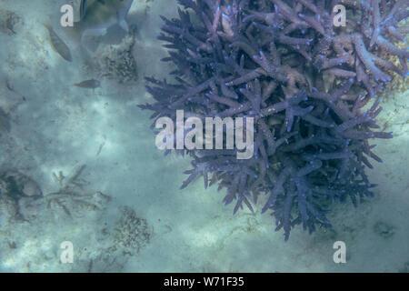 Au Ningaloo reef coral hérissés de coraux la vie marine à Coral Bay à l'ouest de l'Australie Banque D'Images