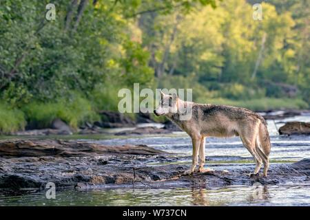 Loup gris de marcher à travers les rochers dans une rivière qui coule