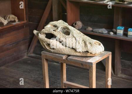 Le crâne d'un géant caïman noir (Melanosuchus niger) le long de la rivière Tambopata, Amazonie péruvienne Banque D'Images