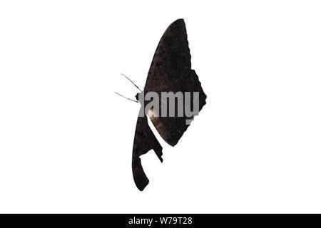Big Black butterfly isolé sur fond blanc. Une aile est endommagé. Banque D'Images