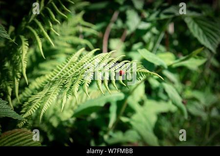 Close up fougère vert foncé dans la forêt. Floral background naturelles. Les feuilles fraîches et naturelles et motif coccinelle. Banque D'Images