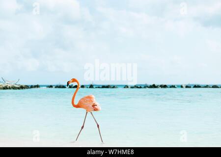Suis Flamingos auf Flamingo Beach, Aruba niederländische Antillen, Flamingo am Strand