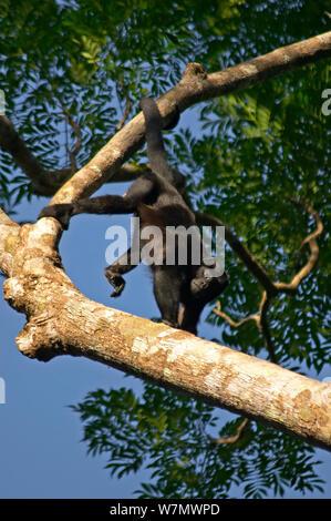 Manteau singe hurleur (Alouatta palliata aequatorialis) mâle en arbre, Parc National de Soberania, Panama Banque D'Images