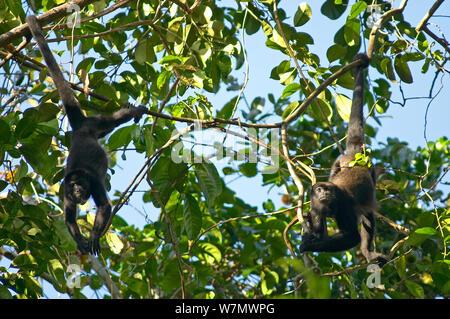 Fuligineux (singes hurleurs Alouatta palliata aequatorialis) dans l'alimentation de l'arbre, c'est pile, Parc National de Soberania, Panama Banque D'Images