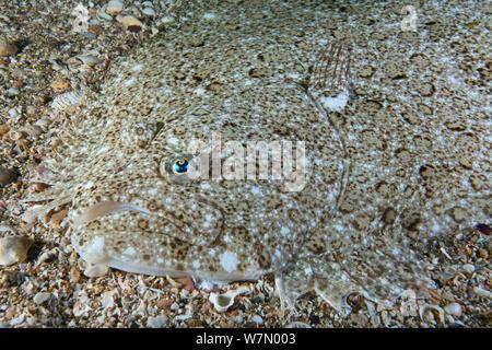 Barbue (Scophthalmus rhombus) camouflé sur des fonds marins, les îles Anglo-Normandes, au Royaume-Uni, en juillet Banque D'Images