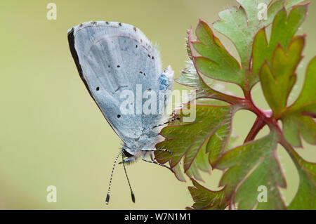 Holly (Celastrina argiolus papillon bleu). Belgique, avril. Banque D'Images
