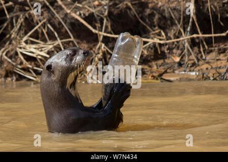 La loutre géante (Pteronura brasiliensis) adulte jouant avec une bouteille de plastique, Pantanal, Pocone, Brésil