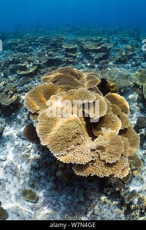 Haut de table (coraux Acropora hyacinthus) sun dapple sur récif peu profond haut, Maldives, océan Indien Banque D'Images