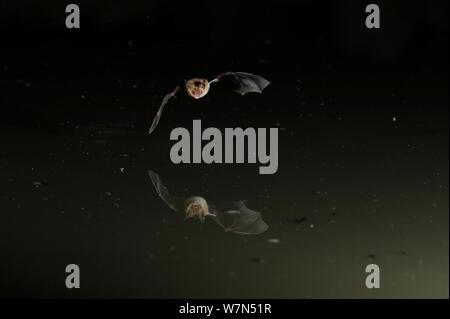 La Bat (Bechstein Myotis bechsteinii) volant bas au-dessus de l'eau, ouvrir la bouche pour émettre des appels. écholocation France, Europe, juillet. Banque D'Images