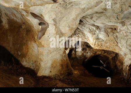 Les chauves-souris de Bechstein (Myotis bechsteinii) en vol dans la grotte. France, Europe, août. Banque D'Images