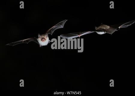 Deux de Bechstein (Myotis bechsteinii) en vol de nuit, ouvrir la bouche pour émettre des appels écholocation. France, Europe, septembre. Banque D'Images