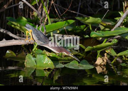 Le héron vert (Butorides virescens) la chasse aux poissons, le Parc National des Everglades, en Floride, USA, Mars Banque D'Images