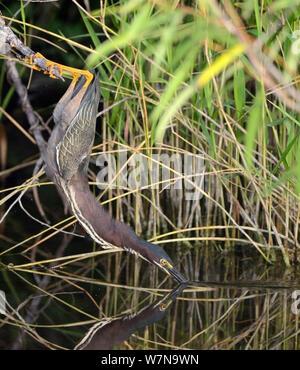 Le héron vert (Butorides virescens) la chasse aux poissons, les pieds sur la préhension en direction de l'équilibre, le Parc National des Everglades, en Floride, USA, Mars Banque D'Images