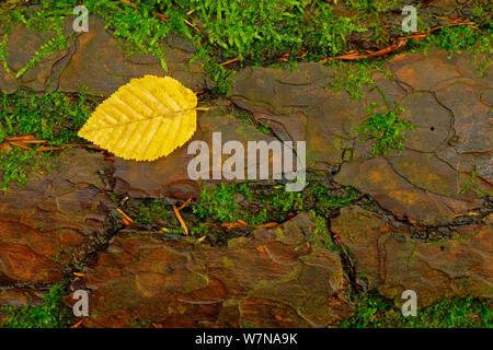 Le pin sylvestre (Pinus sylvestris) avec de l'écorce de plus en plus de mousse entre les fissures et la feuille jaune unique, octobre Banque D'Images