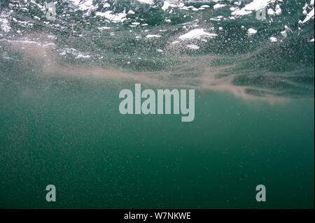 (Copépodes Calanus finmarchicus) agrégées à la surface (marche arrière migration nycthémérale) fournissant une source de nourriture pour les requins pèlerins, Cairns, de Coll, l'île de Coll, Hébrides intérieures, Ecosse, UK, du nord-est de l'océan Atlantique, Juin