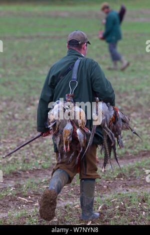 Man shot Faisans (Phasianus colchicus), et pendant un tournage, Essex, Novembre 2012 Banque D'Images