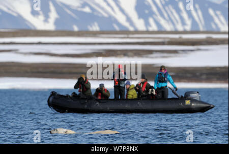 Les écotouristes photographier l'ours polaire (Ursus maritimus) natation en mer surface, Svalbard, Norvège, Juillet 2011 Banque D'Images