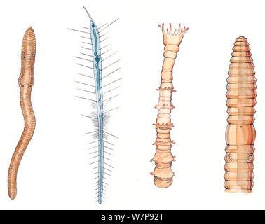 De gauche à droite: ver de terre (Lumbricus terrestris). Ver polychète planctoniques (Mercierella Tomopteris), Ver à tube polychètes (Ficopomatus enigmaticus), détail de ver de terre (Lumbricus terrestris) face antérieure. Crayon et aquarelle. Banque D'Images