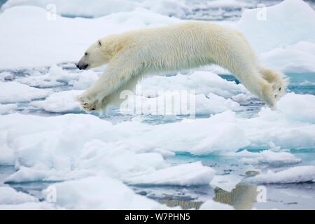 L'ours polaire (Ursus maritimus) sauter au-dessus de l'eau entre les blocs de glace, Kapp, Platine, Nordaustlandet Svalbard, Norvège Banque D'Images
