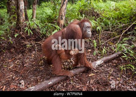 Orang-outan (Pongo pygmaeus) wurmbii - mère portant bébé. Parc national de Tanjung Puting, Bornéo, le centre du Kalimantan, Indonésie Banque D'Images