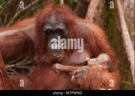 Orang-outan (Pongo pygmaeus) wurmbii - maman avec bébé allaité, parc national de Tanjung Puting, Bornéo, le centre du Kalimantan, Indonésie Banque D'Images