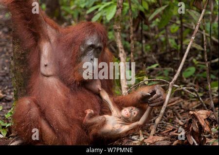 Orang-outan (Pongo pygmaeus) wurmbii la mère et l'enfant joue, parc national de Tanjung Puting, Bornéo, le centre du Kalimantan, Indonésie Banque D'Images