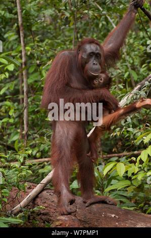 Orang-outan (Pongo pygmaeus) wurmbii - Mère et bébé, parc national de Tanjung Puting, Bornéo, le centre du Kalimantan, Indonésie Banque D'Images