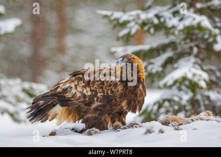 L'Aigle royal (Aquila chrysaetos) se nourrissant d'un renard roux (Vulpes vulpes) carcasse dans la neige. Kuusamo, Finlande, mars. Banque D'Images