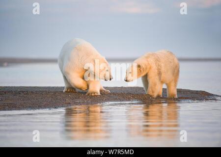 L'ours polaire (Ursus maritimus) 4 ans, et le long de l'année Bernard Spit, 1002 Salon de l'Arctic National Wildlife Refuge, versant nord, l'Alaska, mer de Beaufort