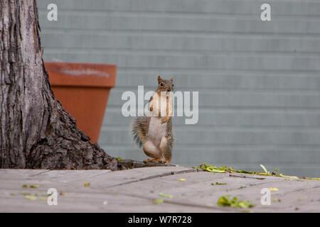 Fox écureuil roux (Sciurus niger) debout sur ses pattes, Denver, Colorado, avril. Banque D'Images