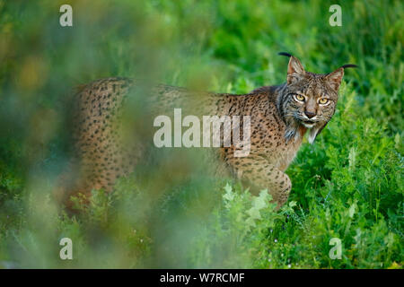 Wild le Lynx ibérique (Lynx pardinus) mâle, Parc Naturel de la Sierra de Andujar, Jaén, Andalousie, Espagne