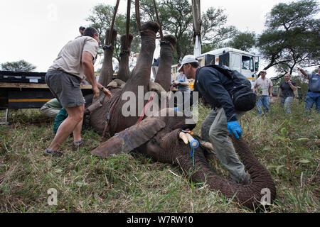 Wild Bull elephant (Loxodonta africana), hissé en position au moyen d'une grue pour la vasectomie dans bush par l'équipe du Programme de gestion de la population de l'éléphant avec le Dr Jeff Zuba, vétérinaire délégué principal avec la Société zoologique de San Diego maintenant l'éléphant et Douw Groebler, game capture expert. Private Game Reserve au Limpopo, Afrique du Sud. Avril 2011 Banque D'Images