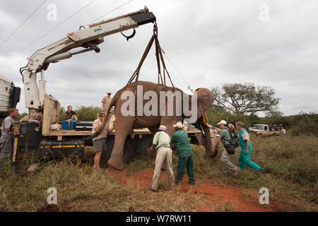 Wild Bull elephant (Loxodonta africana), hissé en position au moyen d'une grue pour la vasectomie dans bush par l'équipe du Programme de gestion de la population d'éléphants. Private Game Reserve au Limpopo, Afrique du Sud, avril 2011 Banque D'Images