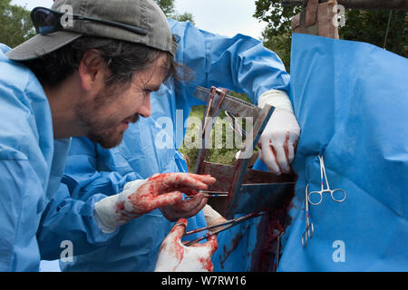 Les chirurgiens de l'Afrique du Sud à partir de la gestion de la population d'éléphants de l'aider à effectuer la chirurgie Programme micromanipulation chirurgicale à un vasectomise wild elephant (Loxodonta africana) dans le bush. Private Game Reserve au Limpopo, Afrique du Sud. Avril 2011 Banque D'Images