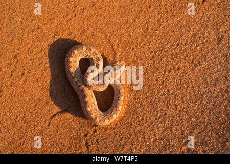 Peringuey&#39;s Sidewinding / adder adder (Bitis peringueyi), Désert du Namib, Namibie, Mai