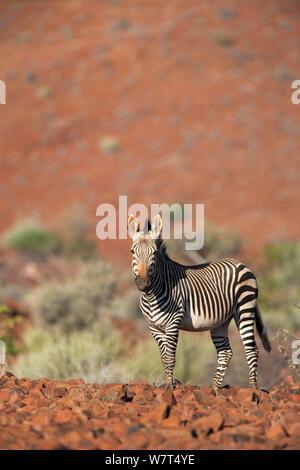 Hartmann&#39;s, zèbre de montagne (Equus zebra hartmannae), région de Kunene, la Namibie, l'Afrique, Mai