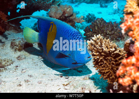 Yellowbar angelfish Pomacanthus maculosus) (Egypte, Mer Rouge. Banque D'Images