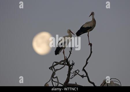 Cigogne Blanche (Ciconia ciconia) deux perché dans l'arbre au lever du soleil avec la lune, près de Castro Verde, Alentejo, Portugal, février. Banque D'Images