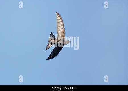 Swift Apus apus (commune) en vol, Wirral, Merseyside, Royaume-Uni, juillet.