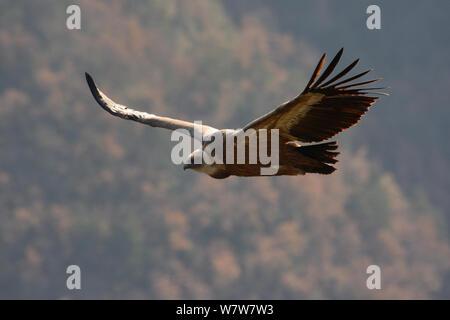 Eurasian vautour fauve (Gyps fulvus) en vol, Gorges de la Jonte, France, Décembre