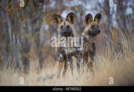 Deux lycaons (Lycaon pictus), Khwai River, Moremi, Botswana. Banque D'Images