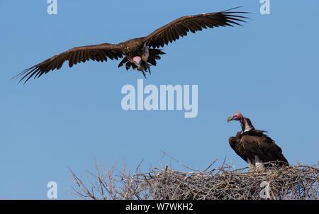 Coprin micacé (Torgos micaceus) paire au nid. Parc National d'Etosha, Namibie. Banque D'Images