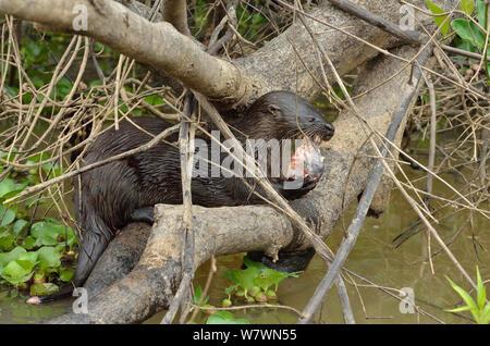 Neotropical loutre de rivière (Lontra longicaudis) manger un poisson, Pantanal, Mato Grosso, l'ouest du Brésil.