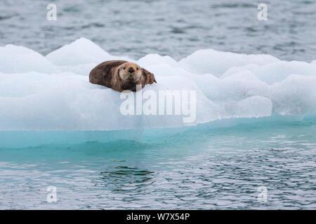 Loutre de mer (Enhydra lutris) sur la banquise, Prince William Sound, Alaska, USA. De juin. Banque D'Images