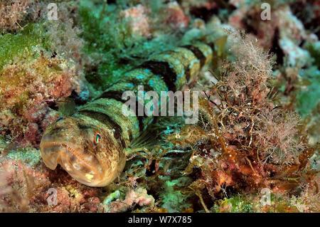 Bluestriped lizardfish (Synodus saurus) reposant sur le fond, l'île de Gozo, Malte. Mer Méditerranée. Banque D'Images